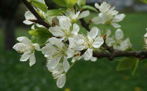 Plum blossom in the Alpavera garden